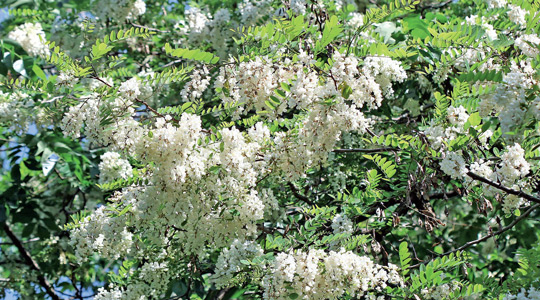 Bagremov cvet